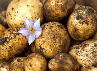 Nechce se vám rýt? Pěstujte brambory ve slámě