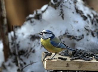 Jak v zimě pohostit venkovní ptactvo? Lojovou kouli zvládnete vyrobit sami