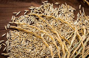 Kernza – plodina budoucnosti. V čem je výjimečná?