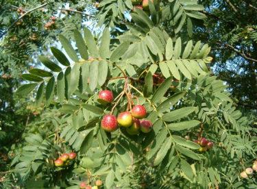 Oskeruše – zázračný strom, na který se zapomnělo