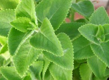Rýmovník je léčivá bylina, která roste před očima