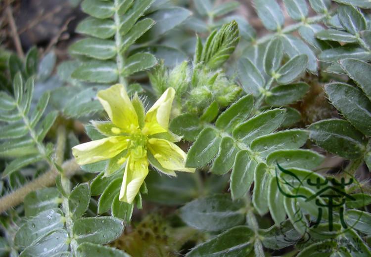 kotvičník zemní - květ
