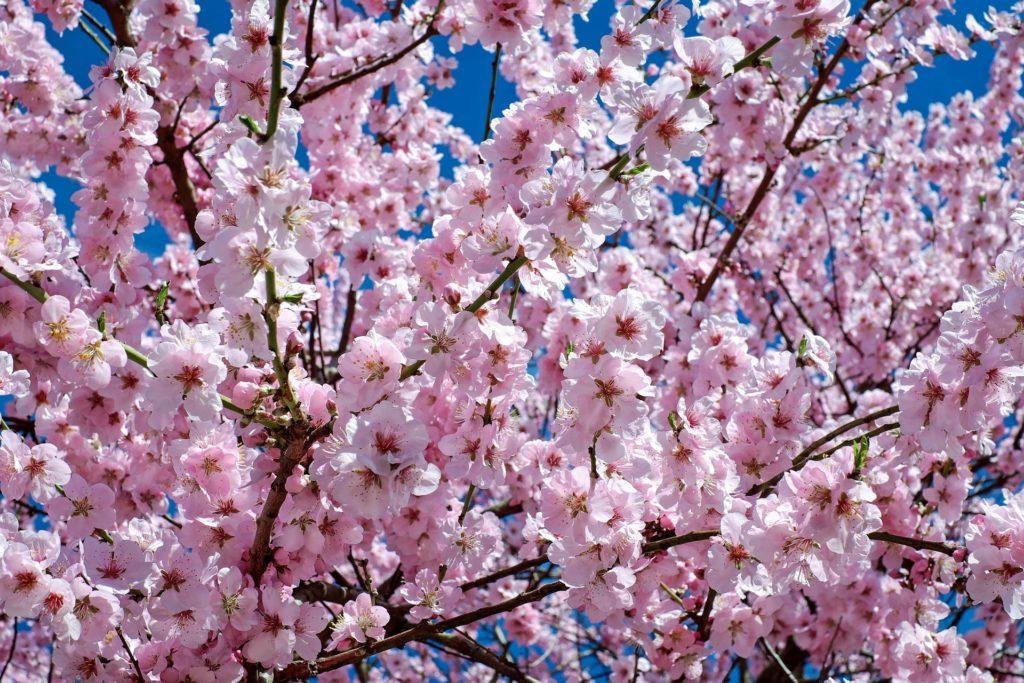 Japonská třešeň, sakura, jarní květy