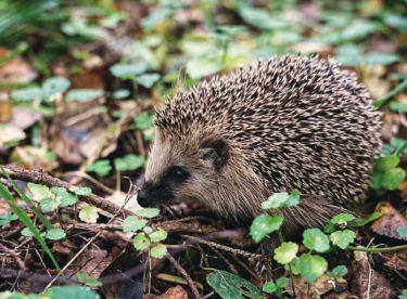 Slepičí traktor a nepořádek pro ježky. Co udělat na zahradě na podzim?