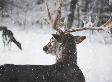 Chcete v zimě přikrmovat lesní zvěř? Dodržujte tyto zásady