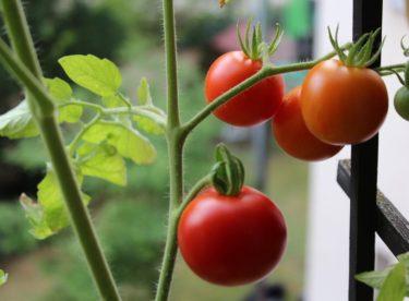 Úspěšné pěstování rajčat na balkónech