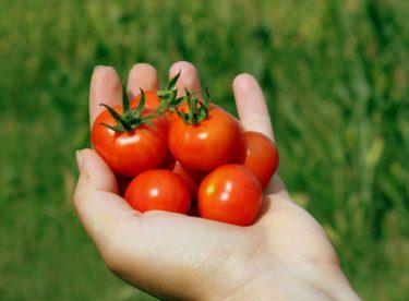 Jak zpracovat rajčata? Máme pro vás hned několik tipů!