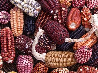 Kukuřice - symbol GMO