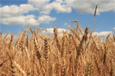 V ČR se voblasti ekozemědělství zpracovávají především obiloviny