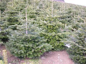 Plantáže nabízí až pět druhů vánočních stromků