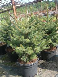 Vánoční stromky vkvětináči můžete po Vánocích vrátit zpět do zahradnictví