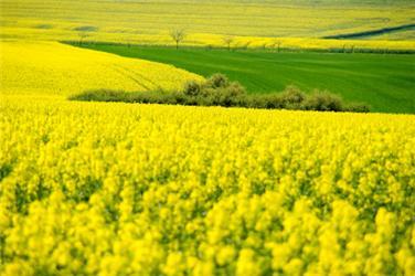 Nejznámější energetickou plodinou vtuzemsku je řepka olejná