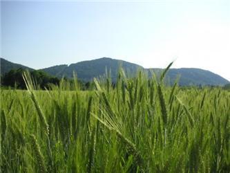 Obiloviny jsou významným zdrojem rozpustné vlákniny