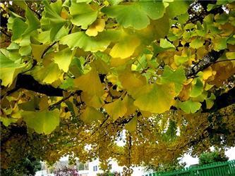Ginkgo biloba je vývojově nejstarší listnatý strom. Zjeho listů se izolují látky specificky působící na mozek